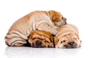Shar-Pei-Puppies1